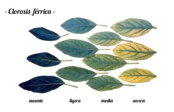 Clorosis férrica