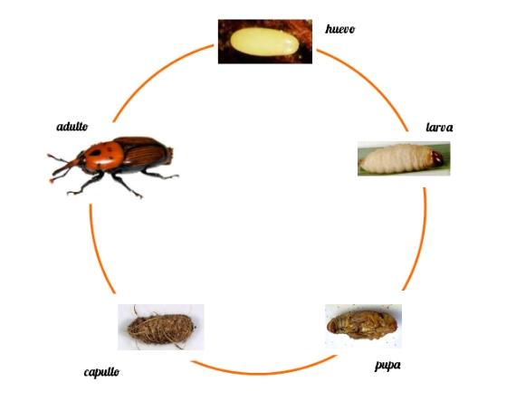 Ciclo de vida del picudo