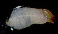 Larva picudo rojo