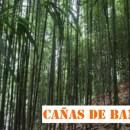 Tutores de Bambú: El Bambú Tonkin