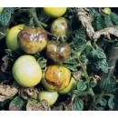 Mildiu del tomate
