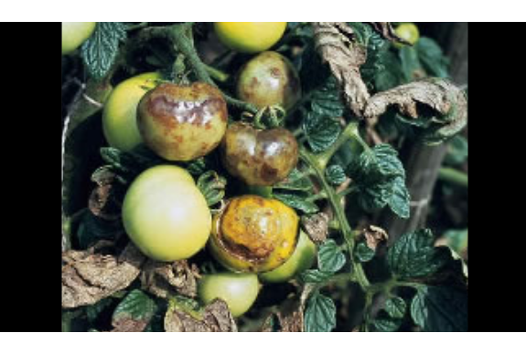Tomatera afectada por Milidiu