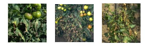 Tomateras afectadas por mildiu