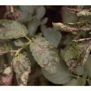alternaria patata en hojas