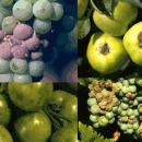 Botrytis en hortícolas, vid y ornamentales