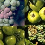 Efecto de la botrytis en cultivos
