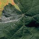 Oidio o mildiu polvoriento en la vid