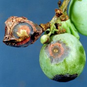 Grape_anthracnose