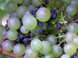 blackrot-vigne_symptomes-grappes_2