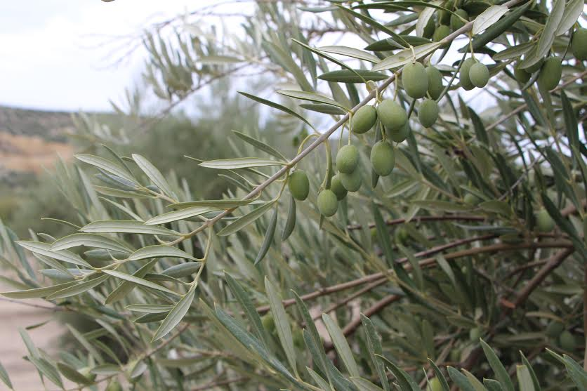 Fungicidas para el olivar a base de Hidróxidos