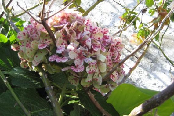 El cuidado de las hortensias agroterra blog - Cuidado de las hortensias ...