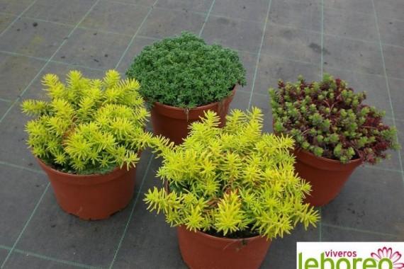 Los sedum plantas muy resistentes agroterra blog - Plantas resistentes al sol para terrazas ...