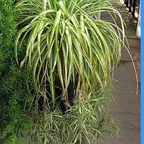 La cinta planta ornamental de interior agroterra blog - Cinta planta ...