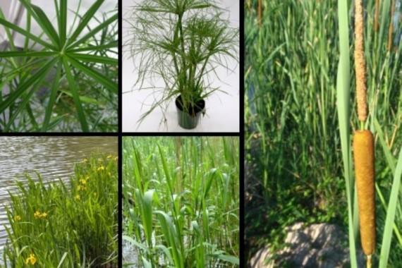 Plantas acu ticas para estanques agroterra blog for Plantas para oxigenar estanques