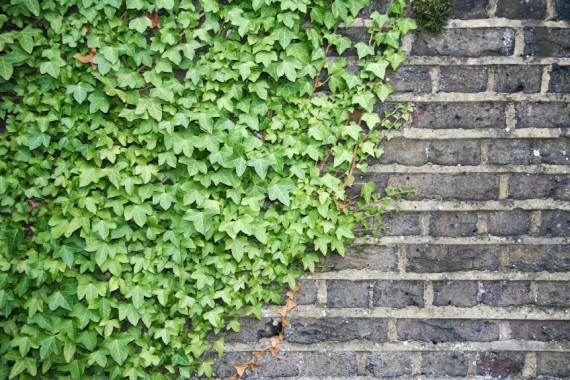 Plantas trepadoras para muros o vallas agroterra blog for Plantas trepadoras para muros